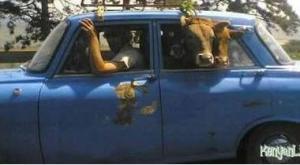 The Romanian abbatoir claims the cows escaped in a small Lada.